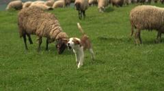 Barking Dog Guarding Sheep at the Seaside 4K Stock Footage