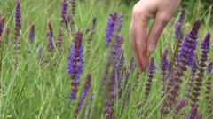 Women's Hands collect purple medicinal plants, flowers Stock Footage