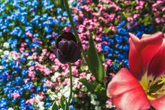 Bud black Tulip on background of blooming forget-me-nots Stock Photos