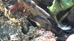 Gryllotalpa gryllotalpa, insect, pest, and digs the earth eats plant roots, 4k Stock Footage