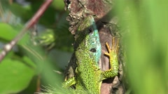 Green lizard, reptile sitting on the tree, basking in the sun Stock Footage