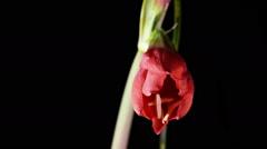 Amaryllis(Hippeastrum sp.) flower - stock footage