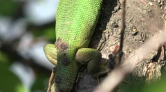 Without the tail Green lizard, reptile sitting on the tree, basking in the sun Stock Footage