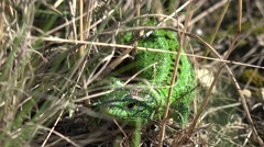 Green lizard, reptile Peeking out of hole in ground, among dry grass Stock Footage