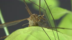 Crane fly, Insect Mosquito, Tipula luna male, macro sitting on green leaf Stock Footage