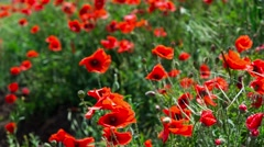 Field of red poppies - stock footage