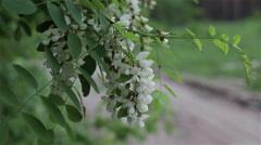 Leaves backlit. Summer acacia tree - stock footage