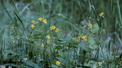 Flower Celandine in Poplar Pooh Stock Footage