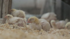 Chicken eggs and chickens eating food in farm - stock footage