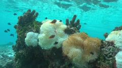 Sea anemones with tropical fish Pacific ocean Stock Footage