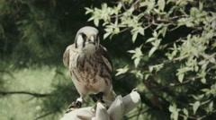 Portrait of an American Kestrel. Stock Footage