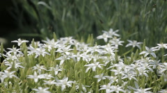 A bed of white flowers swaying Stock Footage