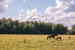couple of chestnut horses graze in a paddock - stock photo