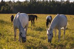 Group of chestnut and white horses graze in a paddock Stock Photos