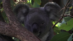Baby cub Koala on a gum tree - stock footage