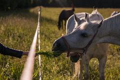 Girl feeding couple of white horses graze in a paddock Stock Photos