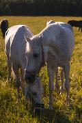 couple of white horses graze in a paddock - stock photo