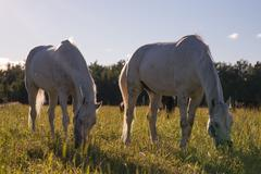 Couple of white horses graze in a paddock Stock Photos