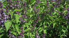 Beautiful lilac bush Stock Footage