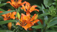 Red Easter lilies are blowing in the wind. imperial crown - stock footage