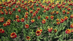 Beautiful flower bed with red yellow tulips - stock footage