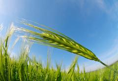 Green barley field in sunny day Stock Photos