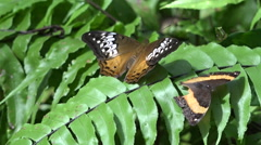 Australian painted lady butterfly Stock Footage
