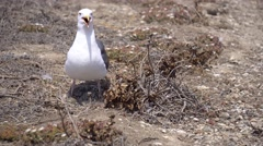 Seagulls in Anacapa island, Channel islands national park, California. Stock Footage