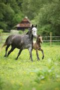 Lovely couple - mare with its foal - running together - stock photo