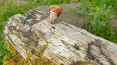 4K shot.  One Snail  on  old log, macro view, shooting acceleration - stock footage