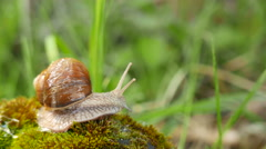 4K shot.  Snail in moss macro view, realtime.  Stock Footage