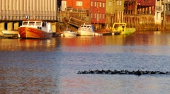 Flock of ducks swimming in Trondheim, Norway Stock Footage