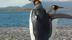 Two king penguins near sea Stock Footage