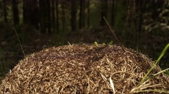 Buzy Anthill with Thousands of Ants Timelapse 4K Stock Footage