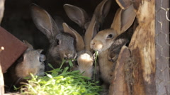 Domestic rabbits in a cage. Family gray rabbits eat grass, leaves Stock Footage