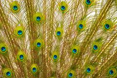 Tail of peacock - stock photo