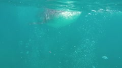 Whale shark underwater Stock Footage