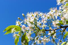 Cherry flowers blossom on blue sky Stock Photos
