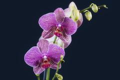 Purple Orchid on black background - stock photo