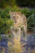 Male lion (Panthera leo) juvenile, Moremi, Okavango Delta, Botswana, Africa Kuvituskuvat
