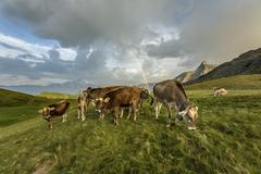 Rainbow frames a herd of cows grazing in the green pastures of Campagneda Alp, - stock photo