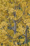 Yellow aspen in the fall, Uncompahgre National Forest, Colorado, United States Stock Photos