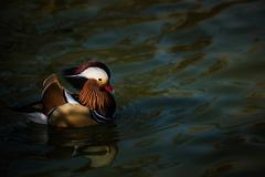 The mandarin duck (Aix galericulata), United Kingdom, Europe - stock photo