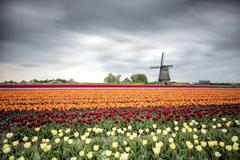 Spring clouds over fields of multicolored tulips and windmill, Berkmeer, Stock Photos