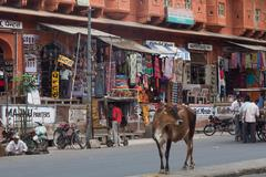 Cow on the street in Jaipur, Rajasthan, India, Asia Stock Photos