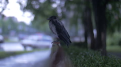 Rain-soaked crow Stock Footage