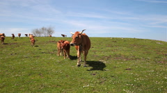 Cows grazing on green hill blue sky clouds Asturias northern Spain time lapse - stock footage