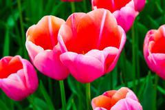 Tulip field in Keukenhof Gardens, Lisse, Netherlands Stock Photos