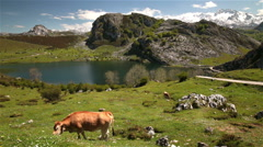 Cow grazing snowy mountain pasture sunny day lake Enol Asturias nothern Spain - stock footage