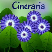 Beautiful spring flowers Cineraria. Cards or your design with space for text. Stock Illustration